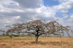 Tree on savanna Royalty Free Stock Photo