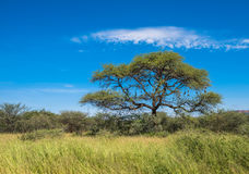 Tree in savannah, classic african landscape.  Stock Photography