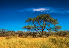 Tree in savannah, classic african landscape royalty free stock image