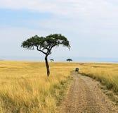 Tree in savannah Royalty Free Stock Image