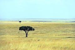 Tree in savannah Stock Photo