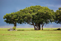 Tree on savannah. Ngorongoro, Tanzania, Africa Royalty Free Stock Images