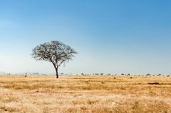 Tree in the savannah of Tsavo East National Park stock images