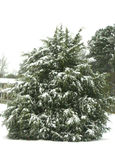 Tree in South Carolina Snow. This tree was in my backyard. I shot this during a snowstorm.  The photo was taken in Simpsonville, SC Royalty Free Stock Photography