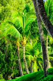 Tree scene in Maui with Palms Royalty Free Stock Photography