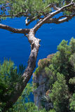 Tree on sea. View of the coast of Capri with its marvellous vegetation. Focus on pine tree over the sea Royalty Free Stock Photography