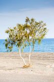 Tree by the sea Royalty Free Stock Photo
