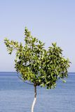 Tree and sea. Leafy green tree with blue sea in background Royalty Free Stock Photo