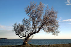 Tree by the sea Stock Images