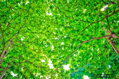 Tree Sea almond. Sea almond Green in thailand Stock Image