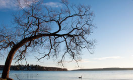 Tree and seascape. Unusual bent tree over a lake in Sweden on a clear cold day with blue sky and swan Stock Images
