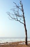 Tree on the seashore Royalty Free Stock Photos