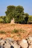 Tree of secular olive in the Puglia countryside. A Tree of secular olive in the Puglia countryside Stock Photos