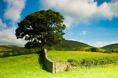 Tree in Sedbergh. Tree standing alone in the field Stock Image
