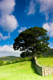 Tree in Sedbergh. Tree standing alone in the field Royalty Free Stock Images