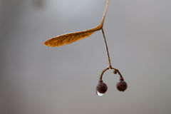 Tree seed with water drop Stock Image