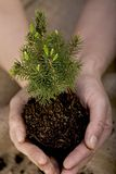 Tree seedling. Hands holdings small tree seedling Stock Photo