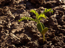 Tree seedling. Growing honey locust seedling in wet soil Royalty Free Stock Photo