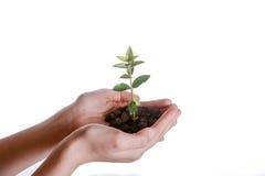 Tree seedling in handful soil. Green tree seedling in handful soil in hand on an isolated background Stock Photography