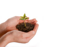 Tree seedling in handful soil. Green tree seedling in handful soil in hand on an isolated background Stock Image