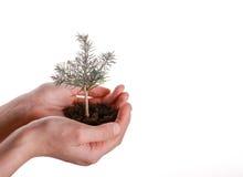 Tree seedling in handful soil. Green tree seedling in handful soil in hand on an isolated background Royalty Free Stock Images
