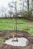 Tree seedling planted in soil Stock Photo