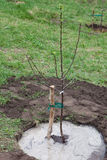 Tree seedling planted in soil. Fruit tree seedling planted in the ground and pour water, step by step guide Stock Photography