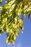 Tree seeds over blue sky Royalty Free Stock Photo
