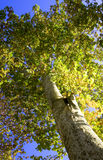 Tree seen from below. Tree in autumn seen from below Royalty Free Stock Image