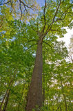 Tree seen from below with bark visible and the nic. E green leaves against blue sky Stock Image