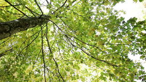 Tree seen from below in the Park of Foreste Casentinesi in Tuscany, Italy. Shooting in rotation of a shaft in autumn stock footage