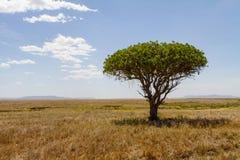 Tree in Serengeti Royalty Free Stock Photos