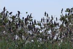 Tree settled hundreds of birds Stock Image
