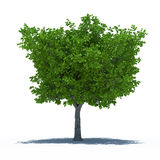 Tree with shadow Royalty Free Stock Image