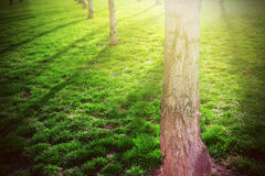 Tree shadows background in the wood and green grass land. Sunset and flare. Empty copy space. For Editor`s content Royalty Free Stock Photos