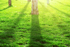 Tree shadows background in the wood and green grass land. Sunset and flare. Empty copy space. For Editor`s content Royalty Free Stock Images