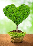 Tree in the shape heart. Growing in the pot Stock Photography