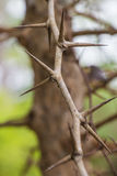 Tree with sharp thorns Stock Photos