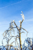 Tree sheathed with ice Stock Images