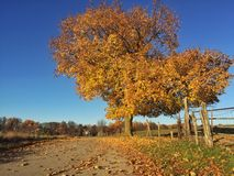 A tree sheds its golden leaves Royalty Free Stock Photography