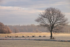 Tree and sheep Royalty Free Stock Photos