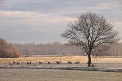 Tree and sheep Royalty Free Stock Photos