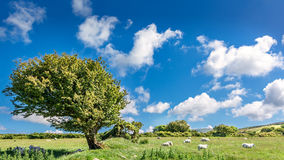 Tree and sheep in Wales. Shepherd and tree in the countryside of Wales stock photos