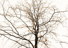 Tree without sheet with flexible branch. On white background stock photography