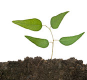 Tree shoot in soil Stock Images