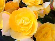 Tree shope. Bigonias yellow flowers Stock Photography