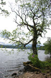 Tree on shore. Of a loch in scotland royalty free stock images