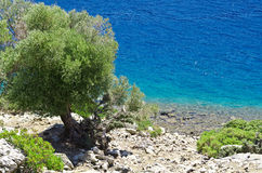 The tree on the shore of the island in the Aegean Sea Royalty Free Stock Images