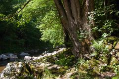 Tree on shore mountain river in forest Royalty Free Stock Image