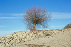 Tree at the shore of the Rhine Rhein Stock Images